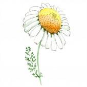 Chamomile květinové botanické květy. Divoké květinové listí. Vodný obrázek pozadí-barevný. Akvarel na kreslicím módu Aquarelle. Izolovaný zkosný prvek.
