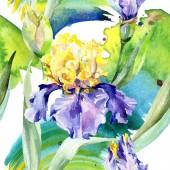 Fialový žlutý Iris. Květinové botanické květy. Divoké květinové listí. Vodný obrázek pozadí-barevný. Akvarel.