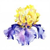 lila gelbe Irisblüte. Aquarell Hintergrund Set vorhanden. Aquarell Zeichnung Aquarell. Iris-Illustrationselement isoliert.