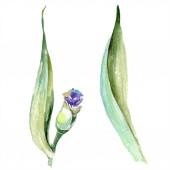 Lila sárga írisz-virág. Akvarell háttér meg. Akvarell rajz Aquarelle. Elszigetelt írisz-illusztrációs elem.