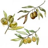 grüne Oliven Aquarell Hintergrund. Aquarell Zeichnung Aquarell. grüne Blatt isolierte Oliven Illustration Element.