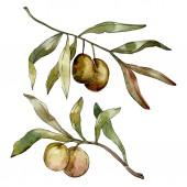 Fotografie grüne Oliven Aquarell Hintergrund. Aquarell Zeichnung Aquarell. grüne Blatt isolierte Oliven Illustration Element.