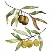 Olive verdi sfondo acquerello. Acquerello disegno aquarelle. Elemento di illustrazione delle olive isolate a foglia verde.