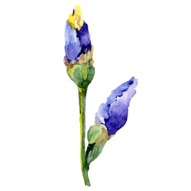 Purple yellow iris. Floral botanical flower. Wild spring leaf wildflower isolated. Watercolor background illustration set. Watercolour drawing fashion aquarelle isolated. stock vector
