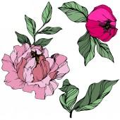 Vektorový růžový pekup. Květinové botanické květy. Ryté inkoustové kresby. Izolovaný názorový prvek.