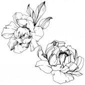 Vector bazsarózsa virágos botanikai virág. Fekete-fehér vésett tinta Art. Elszigetelt bazsarózsa illusztráció elem.