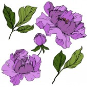 Photo Vector Purple peony. Floral botanical flower. Engraved ink art. Isolated peony illustration element.