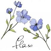 Flanelová modř, Botanická květina. Divoké květinové listy. Ryté inkoustové kresby. Izolovaný ilustrační prvek.
