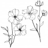 Fotografie Vector Flax floral botanical flower. Black and white engraved ink art. Isolated flax illustration element.