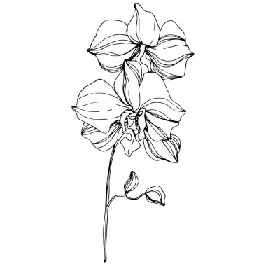 Vector Orchid floral botanical flower. Wild spring leaf wildflower isolated. Black and white engraved ink art. Isolated orchid illustration element. clip art vector