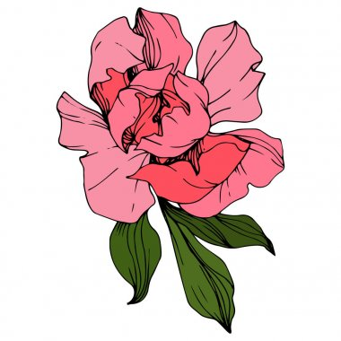 Vector Pink peony. Floral botanical flower. Wild spring leaf wildflower isolated. Engraved ink art. Isolated peony illustration element. stock vector