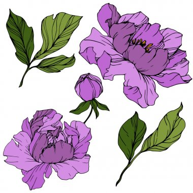 Vector Purple peony. Floral botanical flower. Wild spring leaf wildflower isolated. Engraved ink art. Isolated peony illustration element. stock vector