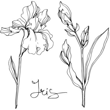Vector Iris floral botanical flower. Wild spring leaf wildflower isolated. Black and white engraved ink art. Isolated iris illustration element. clip art vector