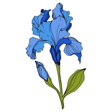 Vector Blue iris floral botanical flower. Wild spring leaf wildflower isolated. Engraved ink art. Isolated iris illustration element. clip art vector