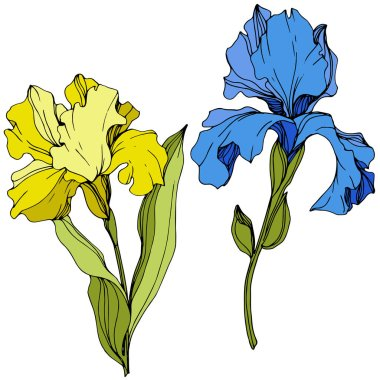 Vector Yellow and blue iris floral botanical flower. Wild spring leaf wildflower isolated. Engraved ink art. Isolated iris illustration element. clip art vector