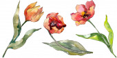 Fotografie Red tulip floral botanical flower. Wild spring leaf wildflower isolated. Watercolor background illustration set. Watercolour drawing fashion aquarelle isolated. Isolated tulips illustration element.