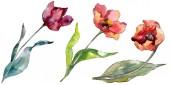 Fiore botanico floreale in tulipano rosso. Foglia di primavera selvatica fiore selvatico isolato. Set di illustrazioni di sfondo dellacquerello. Disegno ad acquerello moda aquarelle isolato. Elemento di illustrazione di tulipani isolati.