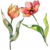 Z červeného Tulipána květinové botanické květiny. Divoké květinové listí. Vodný obrázek pozadí-barevný. Akvarel na kreslicím módu Aquarelle. Izolované tulipány prvek ilustrace.