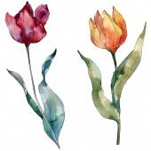 Fotografie Z červeného Tulipána květinové botanické květiny. Divoké květinové listí. Vodný obrázek pozadí-barevný. Akvarel na kreslicím módu Aquarelle. Izolované tulipány prvek ilustrace.