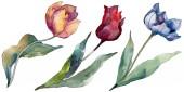 Fényképek Tulipán virágos botanikus virágok. Vad tavaszi levél vadvirág elszigetelt. Akvarell háttér illusztráció meg. Akvarell rajz divat Aquarelle elszigetelt. Izolált tulipánok illusztrációs elem.