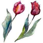 Tulipán květinové botanické květy. Divoké květinové listí. Vodný obrázek pozadí-barevný. Akvarel na kreslicím módu Aquarelle. Izolované tulipány prvek ilustrace.