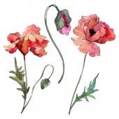 Poppy virágos botanikus virág. Akvarell háttér illusztráció meg. Az elszigetelt Pipacsok illusztrációs elem.