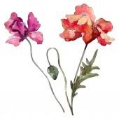 Fotografie Poppy floral botanical flower. Watercolor background illustration set. Isolated poppies illustration element.