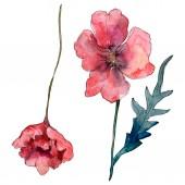 Fényképek Poppy virágos botanikus virág. Vad tavaszi levél vadvirág. Akvarell háttér illusztráció meg. Akvarell rajz divat Aquarelle. Az elszigetelt Pipacsok illusztrációs elem.