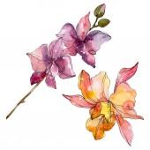 Orchidea virág botanikai virágok. Vad tavaszi levél vadvirág elszigetelt. Akvarell háttér illusztráció meg. Akvarell rajz divat Aquarelle. Izolált orchideák illusztrációs elem.