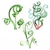 Zöld zamatos virágos virág botanikai. Akvarell háttér meg. Izolált pozsgások illusztrációs elem.