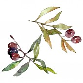 Photo Olive branch with black fruit. Watercolor background illustration set. Isolated olives illustration element.