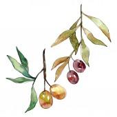 Olive ág, fekete és zöld gyümölcsök. Akvarell háttér illusztráció meg. Izolált olajbogyó illusztráció elem.