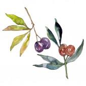 Olivenzweig mit schwarzen und grünen Früchten. Aquarell Hintergrundillustration Set. Aquarellzeichnung Modeaquarell isoliert. isolierte Oliven Illustrationselement.