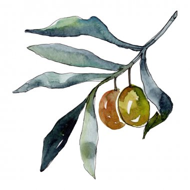 Olive branch with green fruit. Watercolor background illustration set. Watercolour drawing fashion aquarelle isolated. Isolated olives illustration element. stock vector