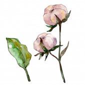 Baumwolle Blumen botanische Blume. wildes Frühlingsblatt Wildblume isoliert. Aquarell Hintergrundillustration Set. Aquarellzeichnung Modeaquarell isoliert. isoliertes Baumwollillustrationselement.