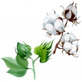 Fotografie Bílé bavlněné květinové květiny. Divoké květinové listy. Vodný obrázek pozadí-barevný. Akvarel na kreslicím módu. Izolovaný ilustrační prvek.
