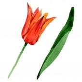 Narancs tulipán virágos botanikai virágok. Akvarell háttér illusztráció meg. Izolált tulipánok illusztrációs elem.