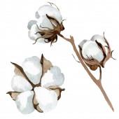 Bílé bavlněné květinové botanické květy. Vodný obrázek pozadí-barevný. Izolovaný ilustrační prvek.