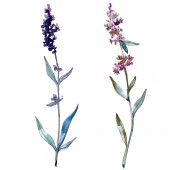 Levandule květinové botanické květy. Vodný obrázek pozadí-barevný. Izolovaný obrázek izolovaného levandule.