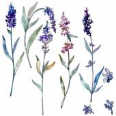 Lavender floral botanical flowers. Watercolor background illustration set. Isolated lavender illustration element.
