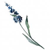 Levendula virágos botanikus virágok. Akvarell háttér illusztráció meg. Izolált levender illusztráció elem.