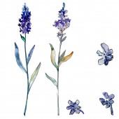 Fényképek Levendula virágos botanikus virágok. Akvarell háttér illusztráció meg. Különálló levendula illusztrációs elem.