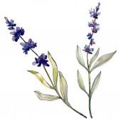 Lavendel Blumen botanische Blumen. Aquarell-Hintergrund-Illustration-Set. Isoliertes Levender-Illustrationselement.