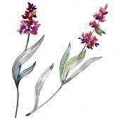 Lavender floral botanical flowers. Watercolor background illustration set. Isolated levender illustration element.