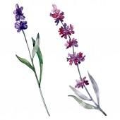 Fotografie Levandule květinové botanické květy. Divoké květinové listí. Vodný obrázek pozadí-barevný. Akvarel na kreslicím módu Aquarelle. Izolovaný obrázek izolovaného levandule.