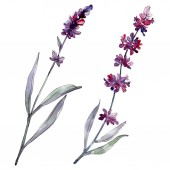 Levandule květinové botanické květy. Divoké květinové listí. Vodný obrázek pozadí-barevný. Akvarel na kreslicím módu Aquarelle. Izolovaný obrázek izolovaného levandule.