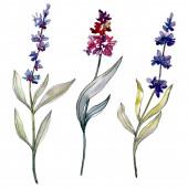 Levandule květinové botanické květy. Vodný obrázek pozadí-barevný. Izolovaný prvek levandulových ilustrací.