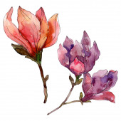 Camelie květinové botanické květiny. Vodný obrázek pozadí-barevný. Izolovaná Camelie-ilustrace.