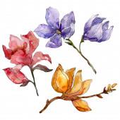 Camelia virágos botanikai virágok. Akvarell háttér illusztráció meg. Elszigetelt Camelia illusztráció elem.