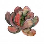 Fotografie Sukulenti květinové botanické květy. Divoké květinové listí. Vodný obrázek pozadí-barevný. Akvarel na kreslicím módu. Izolovaný sukulentní ilustrační prvek.